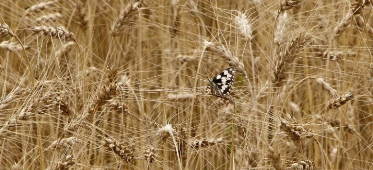 Analýza nákladovosti pšenice