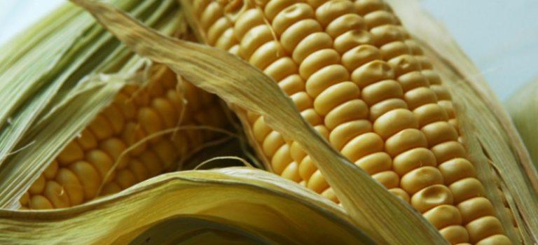 Ako úspešne pestovať kukuricu – 4.časť