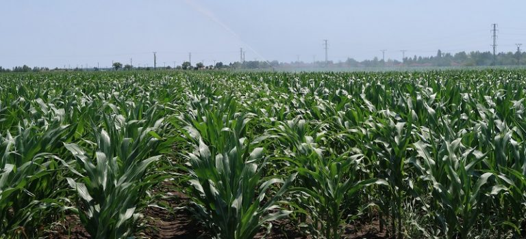 Kukurice bude menej, napriek vyššej výmere