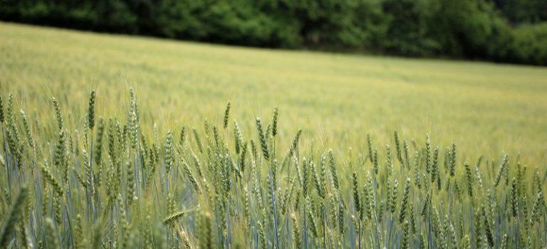 Fungicídna ochrana obilnín